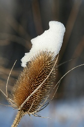 Snow on Teasel by Lisa Sheirer